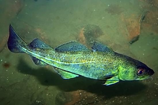 Blue green fish (cod) near rocky bottom.