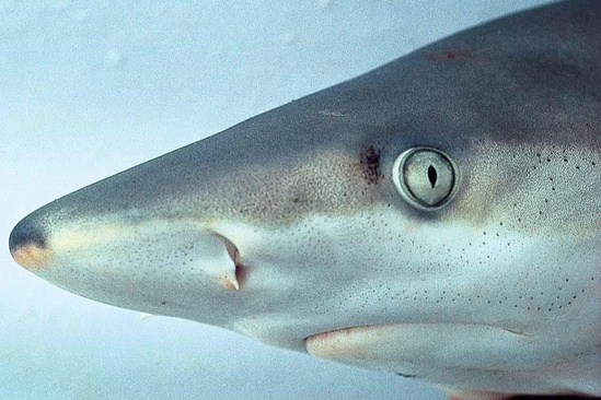 Blacknose shark head region showing darker shading on the tip of the nose.