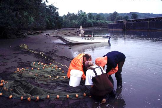 Duwamish River seining NWFSC.jpg