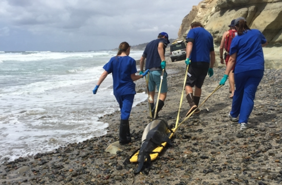 Recovery of stranded dolphin from the beach. Photo: NOAA Fisheries