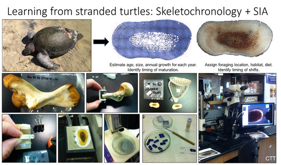 Compilation of images from skeletochronology analysis and sampling for stable isotope analysis. From stranded turtle to humerus cross sectioning, growth layer analysis, and micromilling. Credit: Cali Turner Tomaszewicz