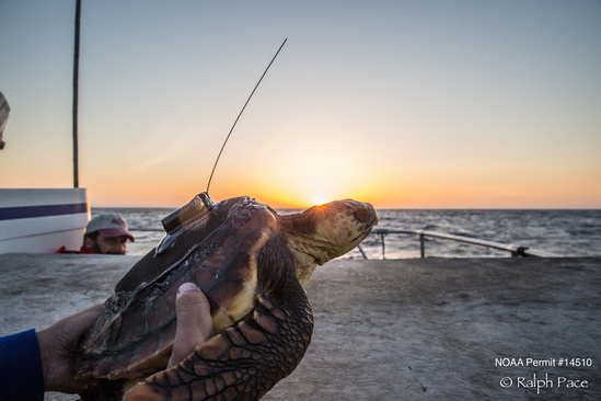 Loggerhead turtle with small satellite tag ready for release from Sportfishing Vessel Outer Limits. Credit: Ralph Pace
