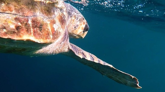loggerhead turtle swims near the water's surface