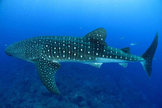 Whale shark swimming underwater with a clear view of its dark dorsal surface covered in whitish spots on the head and fins with the spots encased in a checkerboard pattern on the rest of the dorsal surface