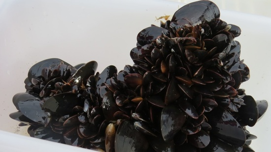 A clump of live mussels hauled from the water