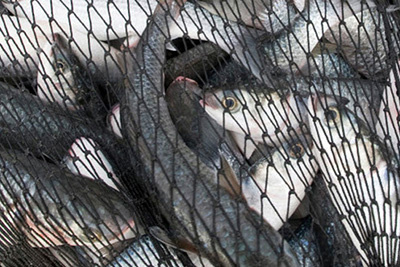 fishes-in-net.jpg