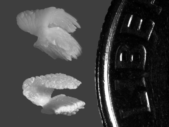 Blue-Marlin-Otoliths-Dime-AllenAndrews.png