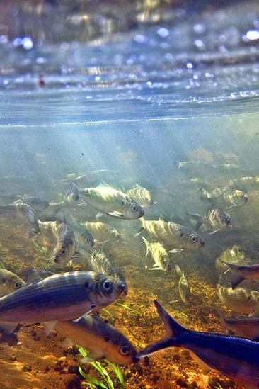 riverherring_coonamessett river trust 2_500x750.jpg