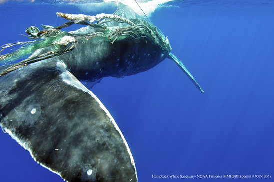750x500-humpback-whale-entanglement-marine-debris-2013-HWS-NOAA-MMHSRP.jpg