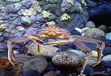 An adult Tanner crab
