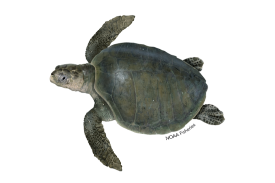Turtle_Olive_Ridley.png