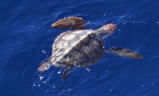 Juvenile loggerhead turtle in the California Current. Photo: NOAA Fisheries/Paula Olson