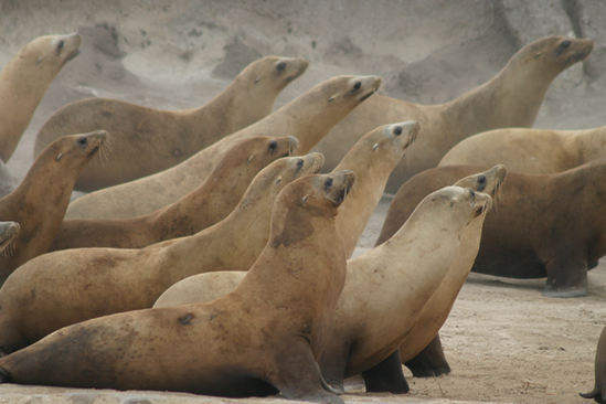 Pictures Of California Sea Lion