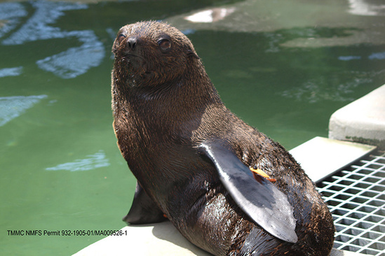 Guadalupe fur seal ready to be released. Photo Credit: The Marine Mammal Center