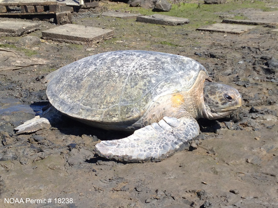 Green Turtle at Old Power Plant in San Diego Bay.