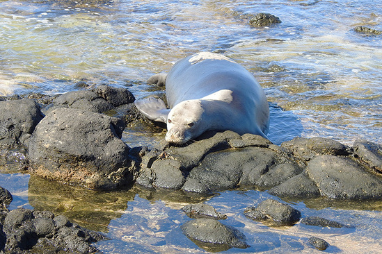 Hawaiian monk seal resting on beach rocks.